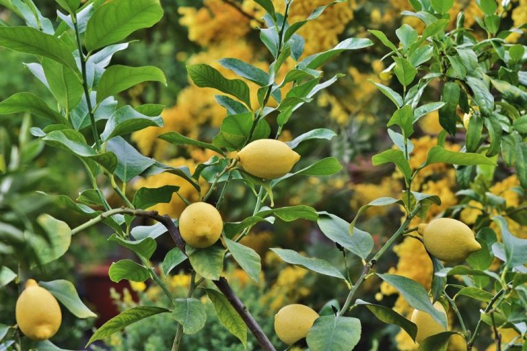 Read more about the article Pourquoi planter un citronnier dans votre jardin ?